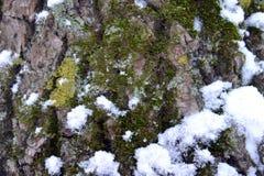 Corteza del roble con el MUSGO en nieve Fotografía de archivo libre de regalías