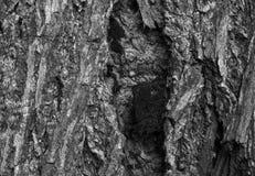 Corteza del trees& x28; blanco y negro y x29; Fotos de archivo libres de regalías