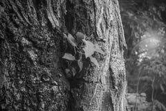 Corteza del trees& x28; blanco y negro y x29; Fotografía de archivo