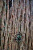 Corteza del tronco de árbol del enebro con el musgo Fotografía de archivo