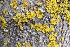 Corteza discreta gris de un árbol de la primavera cubierto con colores brillantes del musgo y del liquen fotografía de archivo