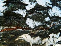 Corteza gruesa del blanco, marrón y gris del abedul blanco Foto de archivo libre de regalías