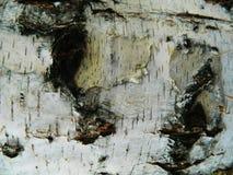 Corteza gruesa del blanco, marrón y gris del abedul blanco Imágenes de archivo libres de regalías