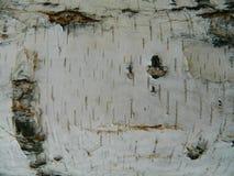 Corteza gruesa del blanco, marrón y gris del abedul blanco Fotos de archivo libres de regalías