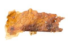 Corteza medicinal del gumbo-limbo aislada en blanco Fotos de archivo libres de regalías