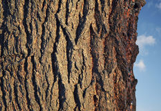 Corteza oscura en árbol Imagen de archivo libre de regalías