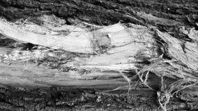 Corteza rugosa hermosa de un árbol de abedul de río Foto de archivo libre de regalías