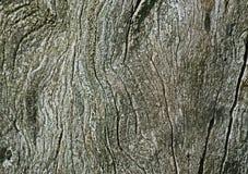 Corteza verde oliva Fotografía de archivo libre de regalías