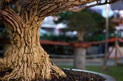 Corteza vieja de los bonsais Fotografía de archivo