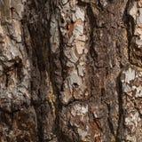Corteza vieja del pino Fotos de archivo