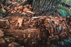 Corteza vieja seca de una textura natural del árbol de abedul Imagen de archivo libre de regalías