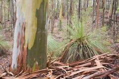 Corteza y color de árbol de goma fotografía de archivo