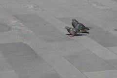 Corti del piccione fotografia stock libera da diritti
