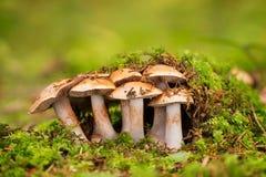 Cortinarius - μη φαγώσιμος μύκητας στοκ φωτογραφία