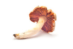 Cortinarius Royalty Free Stock Images
