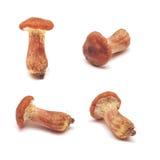 Cortinarius mushroom Royalty Free Stock Images