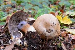 Cortinarius spilomeus mushroom Royalty Free Stock Photos