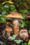 cortinarius trivialis edible fungus Stock Images