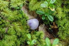 Cortinarius violaceus among mosses of Hylocomium splendens Royalty Free Stock Photography