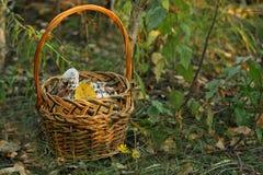 Cortinas champinjoner Arkivfoto