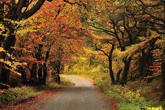 Cortinas del otoño, bosque de Gisburn, Lancashire Imagen de archivo libre de regalías