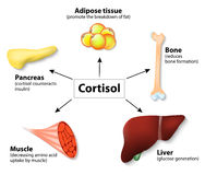 Cortisol d'hormone et organes humains Photographie stock libre de droits