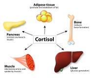 Cortisol da hormona e órgãos humanos ilustração do vetor