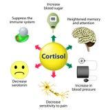 Cortisol-Funktionen Stockbilder
