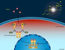 Cortisol signaling pathway. Illustration of the cortisol signaling pathway Royalty Free Stock Images