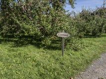 Cortland äpplen på ett träd Arkivbilder