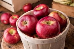 Cortland Apples. A five pound basket of freshly picked cortland apples at a farmer`s market stock images