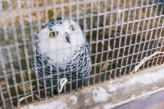 A coruja é polar na gaiola A coruja é cinzento-branca na cor com grande plumagem Olhos amarelos grandes e bico preto Malha do fer fotografia de stock