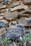 Coruja africana do sono Imagem de Stock