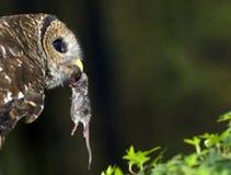 Coruja barrada com rato Fotografia de Stock