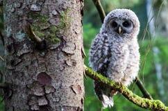 Coruja barrada do bebê no ramo de árvore Imagem de Stock