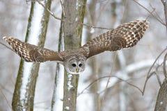 Coruja barrada em uma árvore Foto de Stock