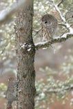 Coruja barrada em uma árvore Foto de Stock Royalty Free