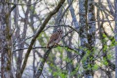 A coruja barrada, Strix Varia, empoleirou-se em um membro de árvore na reserva federal dos animais selvagens do botão calvo, no b foto de stock royalty free