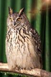 Coruja bonita grande que senta-se em um ramo olhos unblinking foto de stock