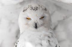 Coruja com os olhos da laranja do poder Imagens de Stock Royalty Free
