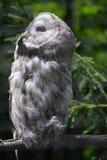 Coruja - coruja de grande cinza (nebulosa do Strix) Imagens de Stock