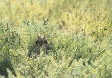 coruja Curto-orelhuda de Gujarat, Índia Fotografia de Stock Royalty Free