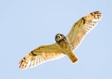 Coruja da caça no vôo imagem de stock