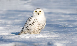 Coruja da neve na terra Foto de Stock Royalty Free