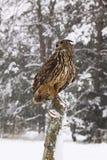 Coruja de águia Imagem de Stock Royalty Free