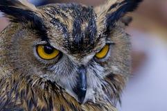 Coruja de águia Fotos de Stock