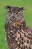 Coruja de águia fotos de stock royalty free