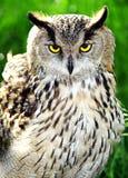 Coruja de águia. Foto de Stock Royalty Free