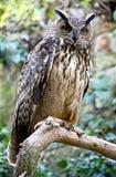 Coruja de águia 4 Fotos de Stock Royalty Free