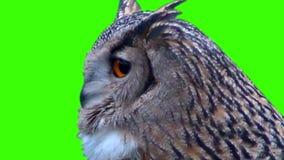 Coruja de águia vídeos de arquivo